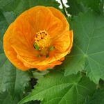 Abutilon hybridus ''Orange'' (2)