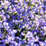 Chaenorhinum origanifolium ''Dreamcatcher''(4)