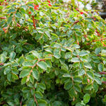 Begonia foliosa (6)