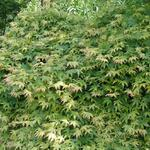 Acer palmatum ''Katsura''