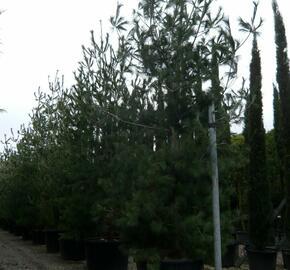 Borovice vejmutovka - Pinus strobus
