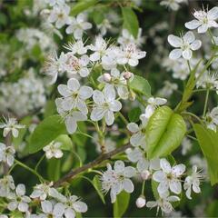 Mahalebka obecná - Prunus mahaleb