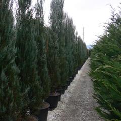 Jalovec virginský 'Skyrocket' - Juniperus virginiana 'Skyrocket'