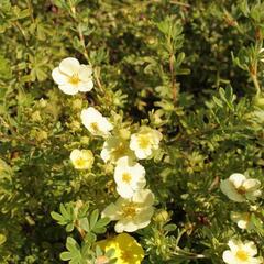 Mochna křovitá 'Daydawn' - Potentilla fruticosa 'Daydawn'