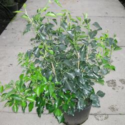 Břečťan popínavý 'Arborescens' - Hedera helix 'Arborescens'