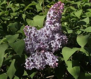 Šeřík obecný - Syringa vulgaris