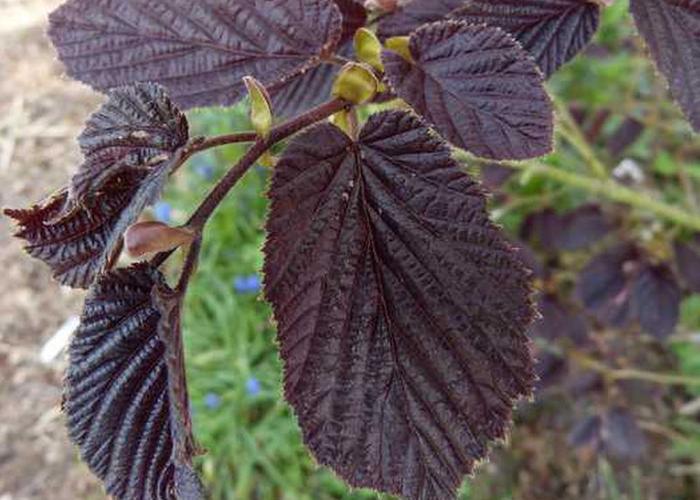 Líska obecná 'Purpurea' - Corylus avellana 'Purpurea'