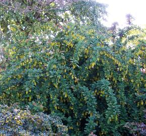 Dřišťál obecný - Berberis vulgaris