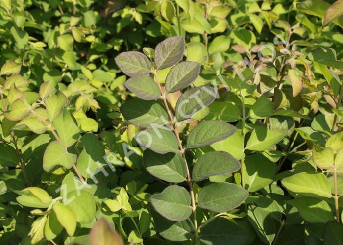 Pámelník červený - Symphoricarpos orbiculatus