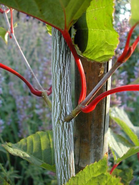 Javor vlasonohý - Acer capillipes