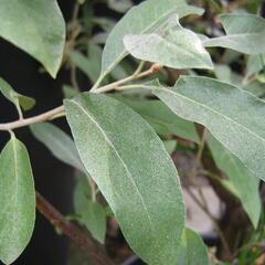 Hlošina úzkolistá - Elaeagnus angustifolia