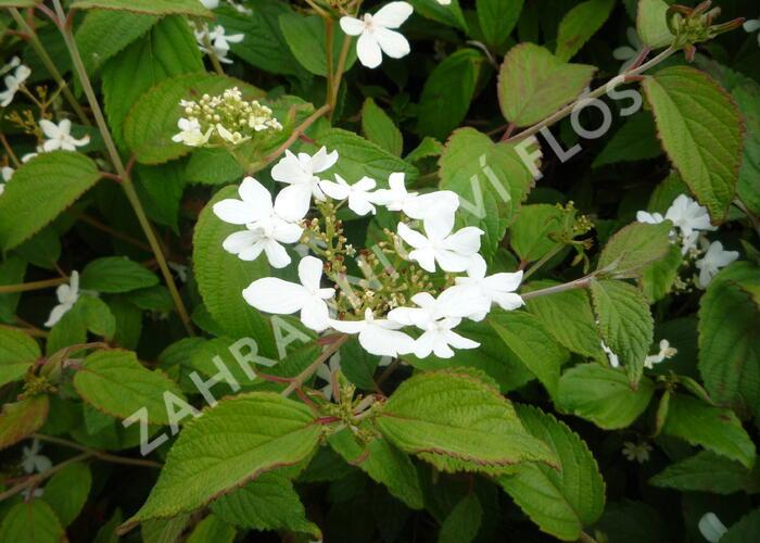 Kalina japonská 'Watanabe' - Viburnum plicatum 'Watanabe'