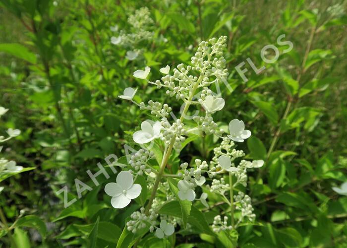 Hortenzie latnatá 'Kyushu' - Hydrangea paniculata 'Kyushu'