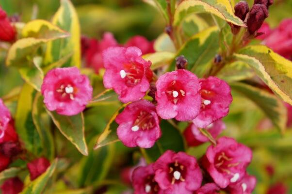 Vajgélie květnatá 'Moulin Rouge' - Weigela florida 'Moulin Rouge'