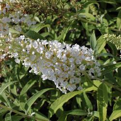 Motýlí keř, Komule Davidova 'White Profusion' - Buddleia davidii 'White Profusion'