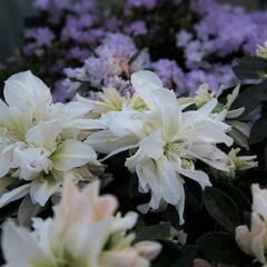 Azalka japonská 'Bianca' - Azalea japonica 'Bianca'