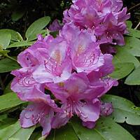 Pěnišník 'Catawbiense Boursault' - Rhododendron (T) 'Catawbiense Boursault'