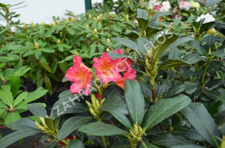 Pěnišník 'Scyphocalix' - Rhododendron 'Scyphocalix'