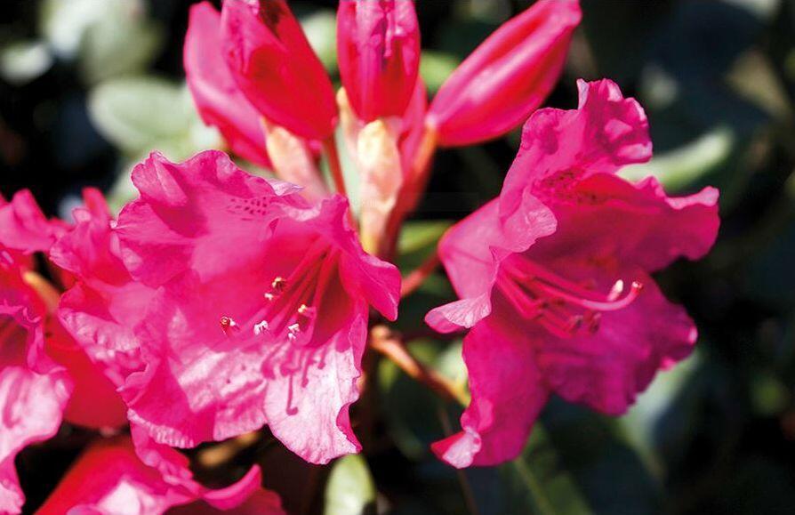 Pěnišník 'August Lamken' - Rhododendron 'August Lamken'