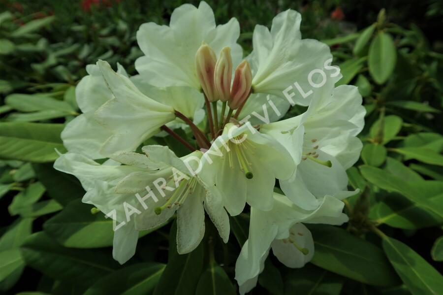 Pěnišník 'Goldfort' - Rhododendron (Y) 'Goldfort'