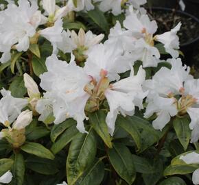 Pěnišník 'Dora Amateis' - Rhododendron (Y) 'Dora Amateis'