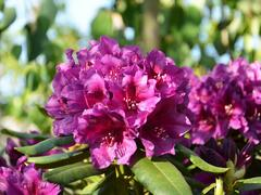 Pěnišník 'Polarnacht' - Rhododendron (T) 'Polarnacht'