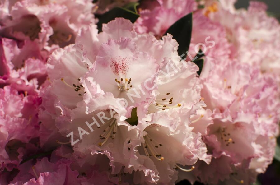 Pěnišník 'Fantastica' - Rhododendron (Y) 'Fantastica'