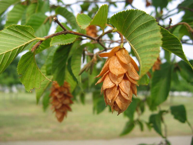 Habrovec habrolistý - Ostrya carpinifolia