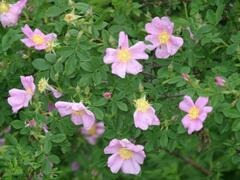 Růže viržínská - Rosa virginiana