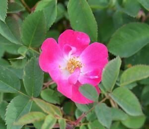 Růže lesklá - Rosa nitida