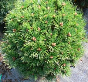 Borovice hustokvětá 'Low Glow' - Pinus densiflora 'Low Glow'