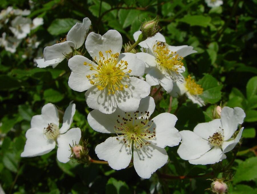 Růže mnohokvětá - Rosa multiflora