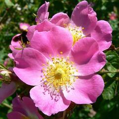 Růže vinná - Rosa rubiginosa