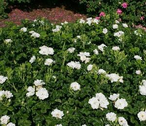 Růže svraskalá 'White Roadrunner' - Rosa rugosa 'White Roadrunner'