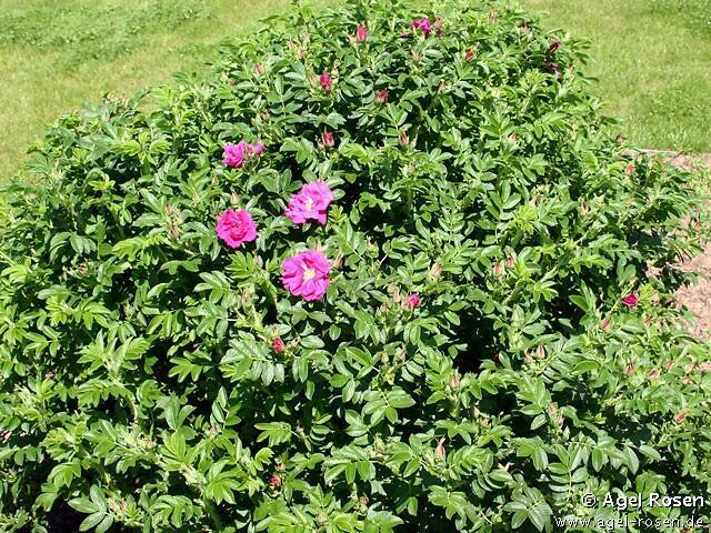 Růže svraskalá 'Rotes Meer' - Rosa rugosa 'Rotes Meer'