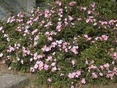 Růže půdopokryvná 'Max Graf' - Rosa PK 'Max Graf'