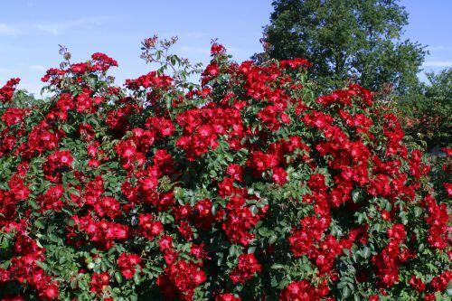 Růže půdopokryvná Kordes 'Rote Max Graf' - Rosa PK 'Rote Max Graf'