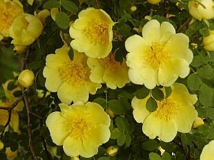 Růže Hugova - Rosa hugonis