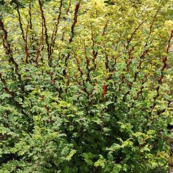 Růže hedvábitá - Rosa sericea pteracantha