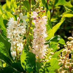 Jochovec olšolistý 'Ruby Spice' - Clethra alnifolia 'Ruby Spice'