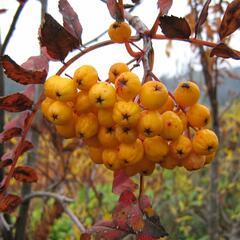 Jeřáb obecný 'Sunshine' - Sorbus aucuparia 'Sunshine'
