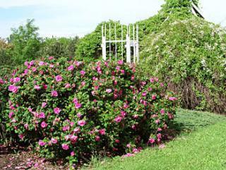 Růže svraskalá - Rosa rugosa