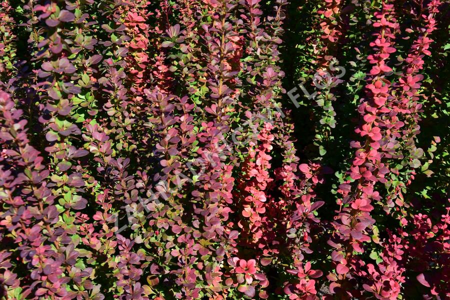 Dřišťál Thunbergův 'Red Pillar' - Berberis thunbergii 'Red Pillar'