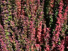 Dřišťál Thunbergův 'Red Pillar' - Berberis thunbergii 'Red Pillar'