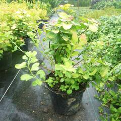 Tavolník břízolistý 'Tor Gold' - Spiraea betulifolia 'Tor Gold'
