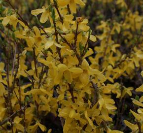 Zlatice prostřední 'Flojor' - Forsythia intermedia 'Flojor'