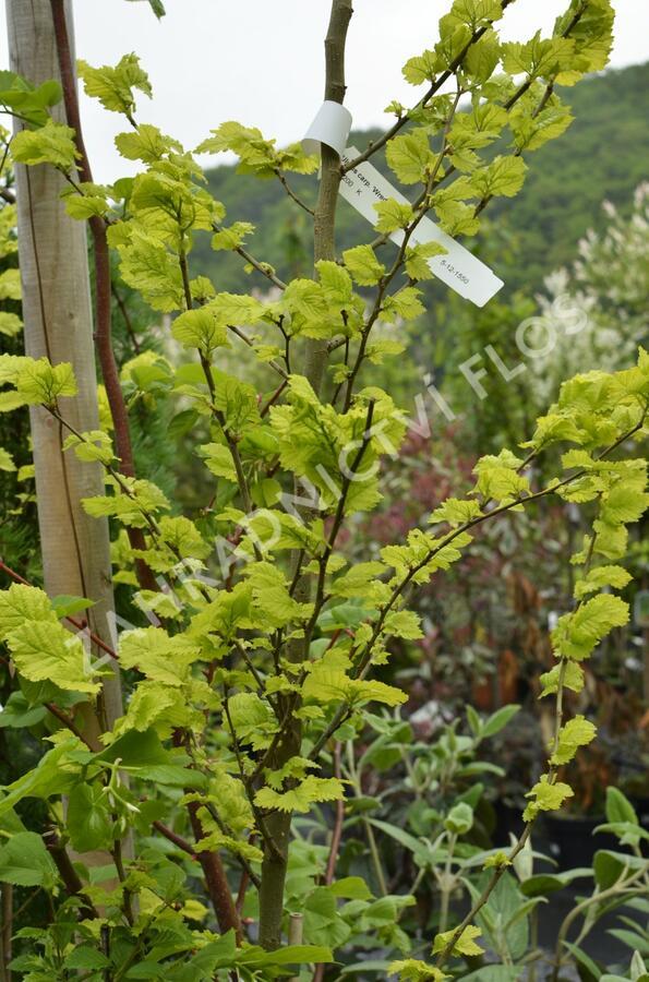 Jilm habrolistý 'Wredei' - Ulmus carpinifolia 'Wredei'