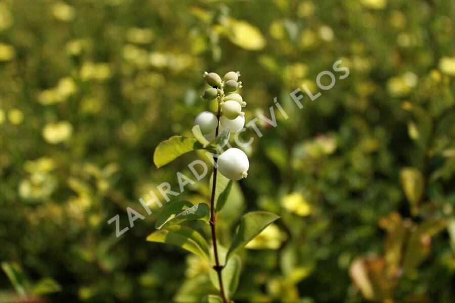 Pámelník Doorenbosův 'White Hedge' - Symphoricarpos doorenbosii 'White Hedge'
