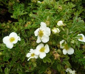 Mochna křovitá 'Tilford Cream' - Potentilla fruticosa 'Tilford Cream'