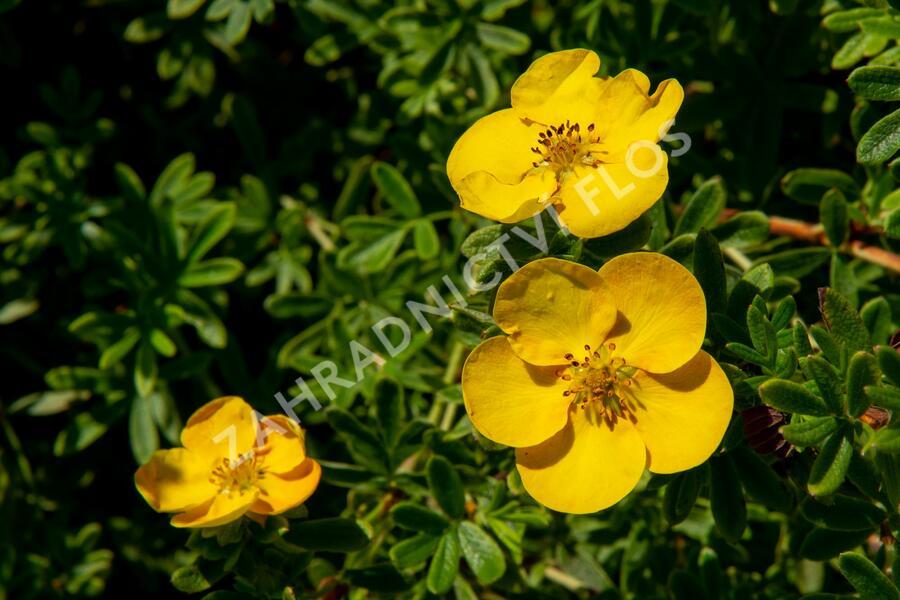 Mochna křovitá 'Tangerine' - Potentilla fruticosa 'Tangerine'